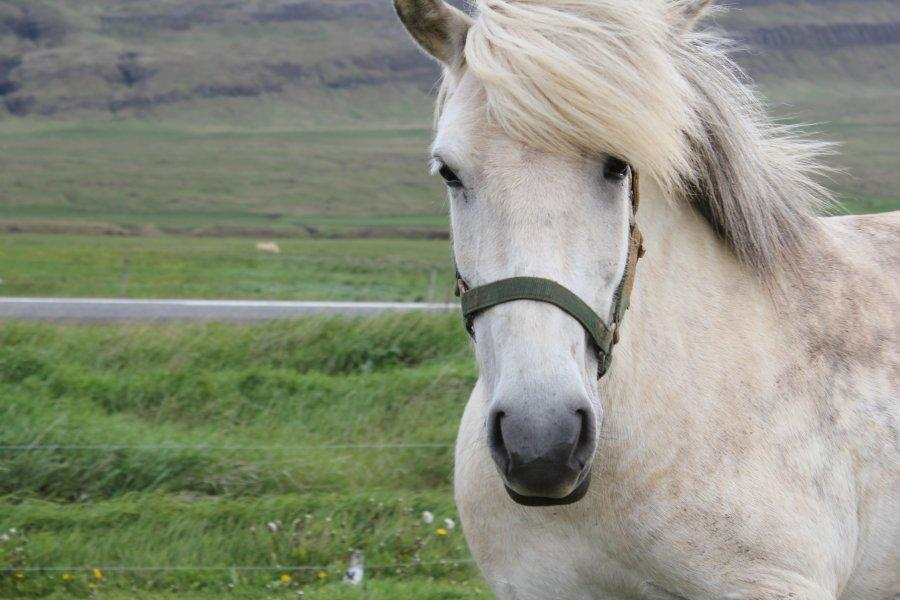 Face to face with an Icelandic horse